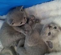 Nindaranna Fearghus als kitten