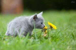 Woldlake's blauwe rus kitten