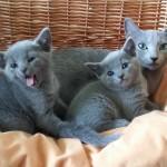 Kittens van Djagilevs Graciella of Woldlake