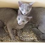Kittens van Anarrima's Izzie